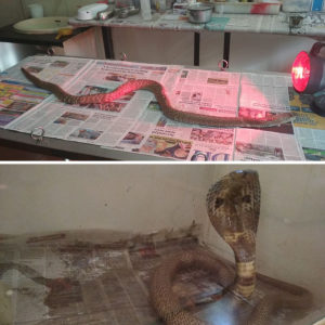 Snake and Cobra Rescue in Bangalore