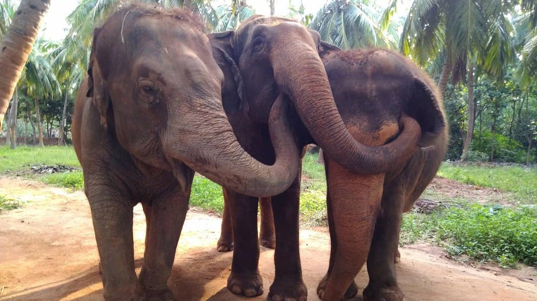 Rescued Captive elephants bonding in Bangalore Sanctuary