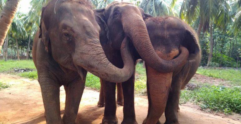 Rescued Captive elephants bonding in Bangalore Sanctuary
